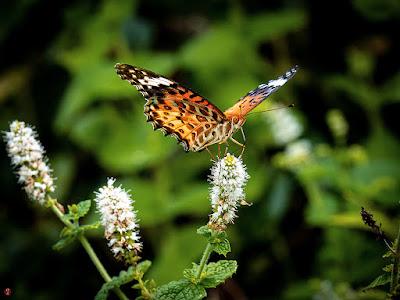 Tsumaguro-Hyoumon (Argyreus hyperbius) butterfly (female): Kita-kamakura