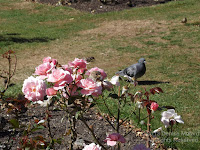House sparrow resting on a rose, Wellington Botanic Garden, NZ - © Denise Motard