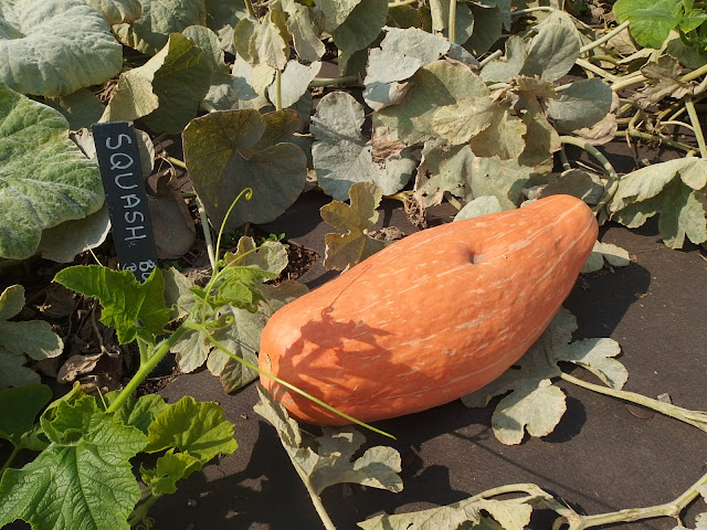 A large banana squash looking good at Tyntesfield on Friday