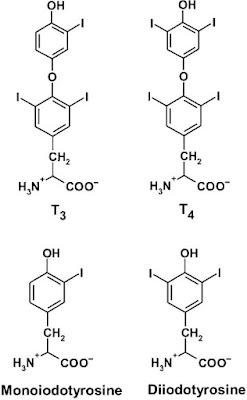 Structures of the thyroid hormones thyroxine