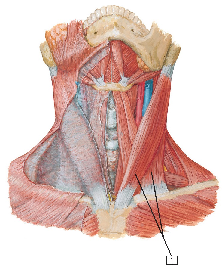 Muscles of Neck: Anterior View Anatomy