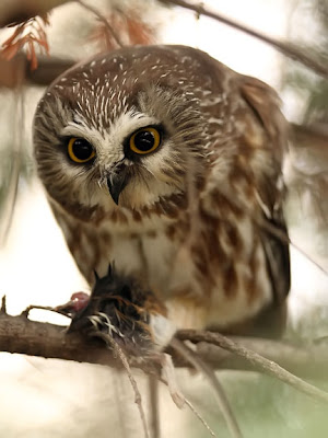 Saw-whet Owl Eating a Mouse