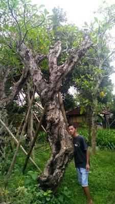 gambar tanaman kamboja batang sudah besar harga paling murah