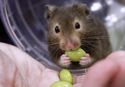Lifespan of a Hamster