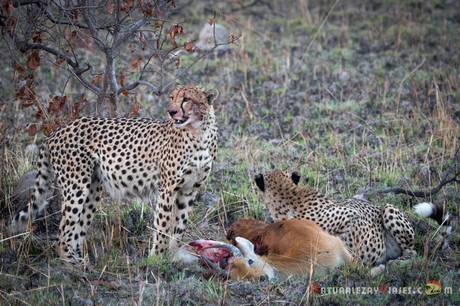 Guepardos en el Parque Nacional Kafue (Zambia)