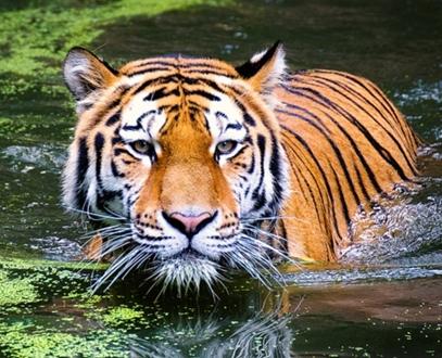 Ciri-Ciri Harimau