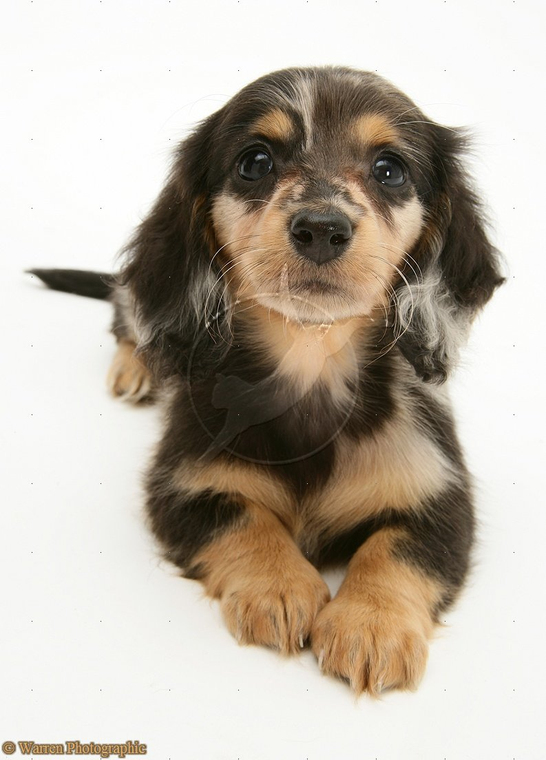 Cute Puppy Dogs Long Haired Dachshund