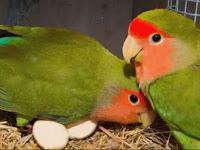 Cara Mudah Ternak Lovebird