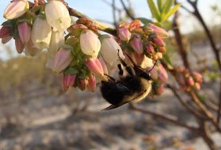 Nuestra supervivencia no solo depende de las abejas de la miel 4