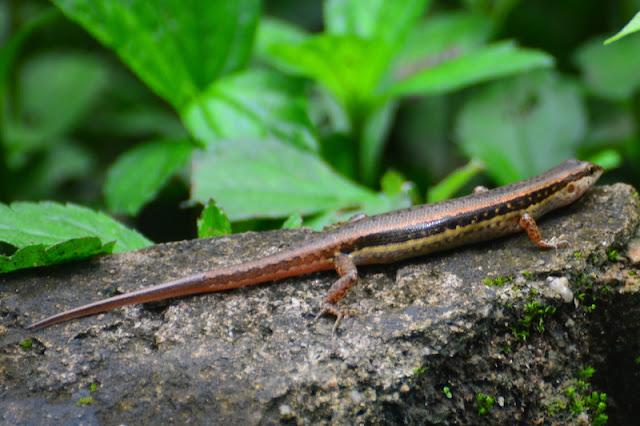 Sphenomorphus maculatus