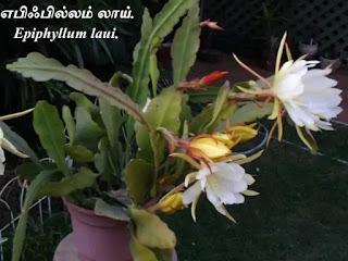 Epiphyllum laui flower