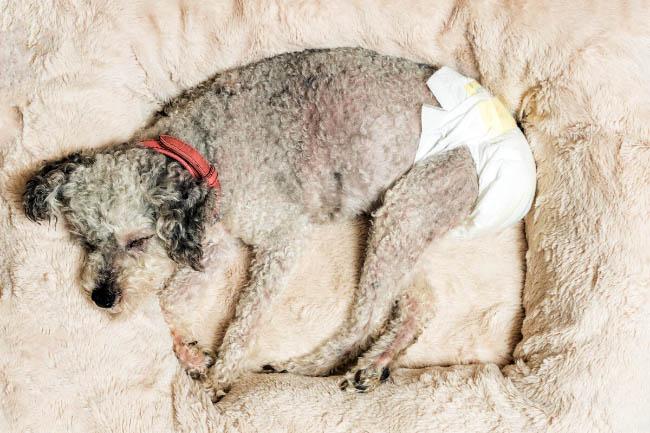 Kiedy pies potrzebuje pieluch?