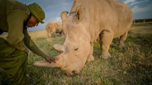 Saving A Species: Two Of Seven Fertilized Northern White Rhino Eggs Result In Embryos