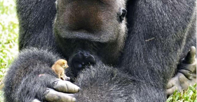 The Huge Gorilla Made Best Friends With A Tiny Bush Baby, And The Internet Can't Get Enough
