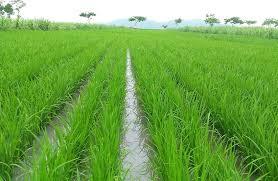 cara memperbanyak anakan padi, zpt memperbanyak anakan padi,memperbanyak anakan padi produktif, obat memperbanyak anakan padi.