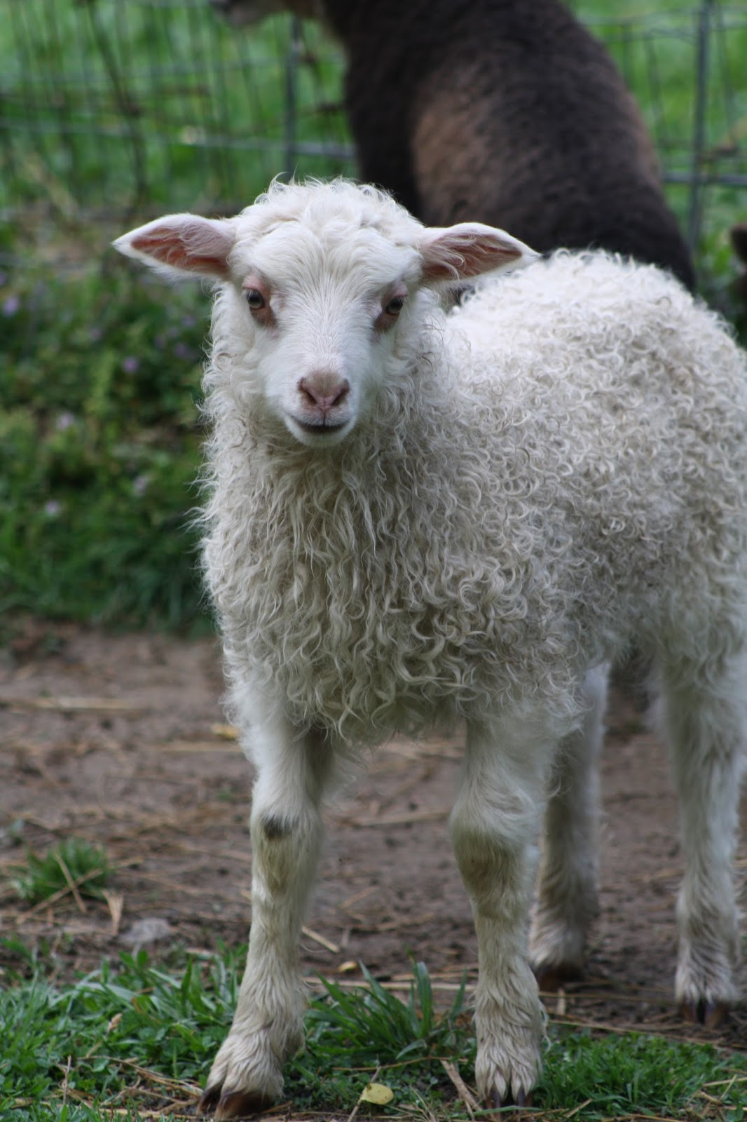 Sheep R Us: 2016 Hidaway Farms Lambs