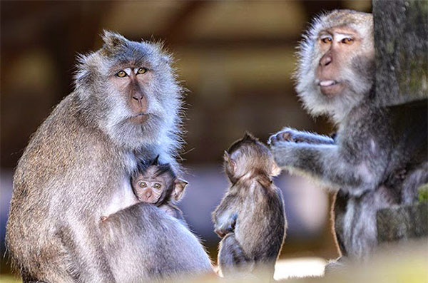 Monkey Forest at Ubud Bali - Kintamani Ubud Bali Tours Packages - Bali Travel Destinations