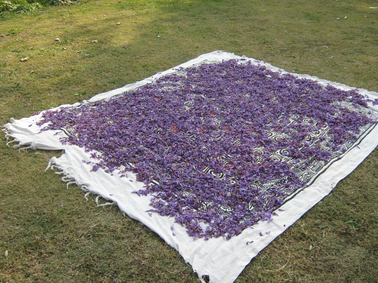 CHINAR SHADE : SAFFRON FLOWERS OF PAMPORE KASHMIR Kashmiri Saffron Corms For Sale