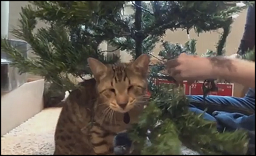 Christmas Cat GIF • Oskar the famous blind cat trying to help Mom with Christmas tree decoration