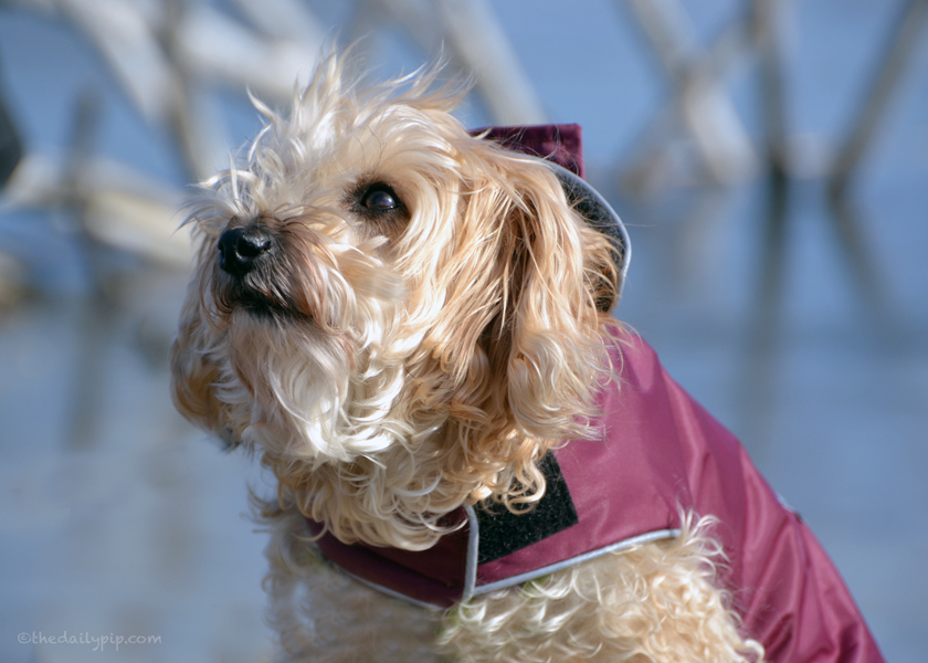 Ruby, the rescued Yorkie-Poo soaks up some winter sunshine on Wordless Wednesday