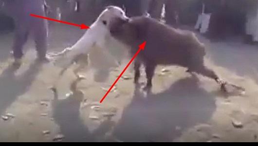 بيتبول قوي يسيطر ويصطاد خنزير بري رغم كبر حجمه