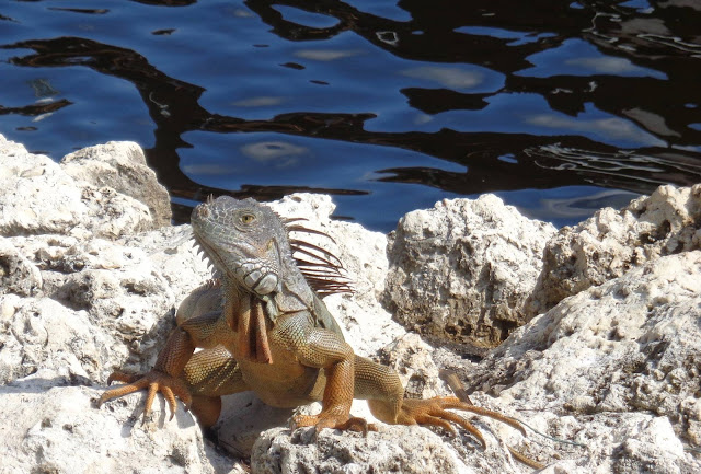 Iguana on rocks along the New River