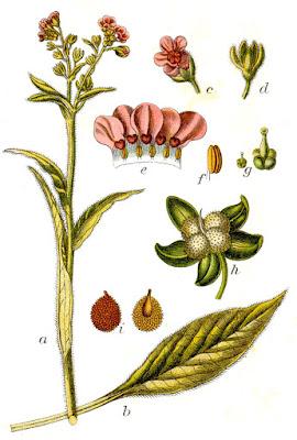 besneula -–planta de hojas blanquecinas. De dudoso étimo, ¿latín vulgar bislingua o *bisligula?. Según Vidal, emparentada con el protovasco *bini (lengua). En cast. es bizniega, viniebla o lengua de perro
