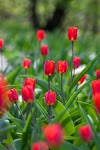 100+ Most Beautiful Tulip flower's : HD Images Free Download