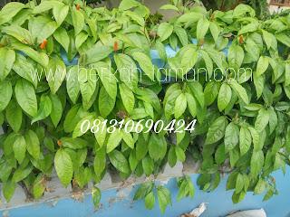 Jual pohon cabe Jawa herbal