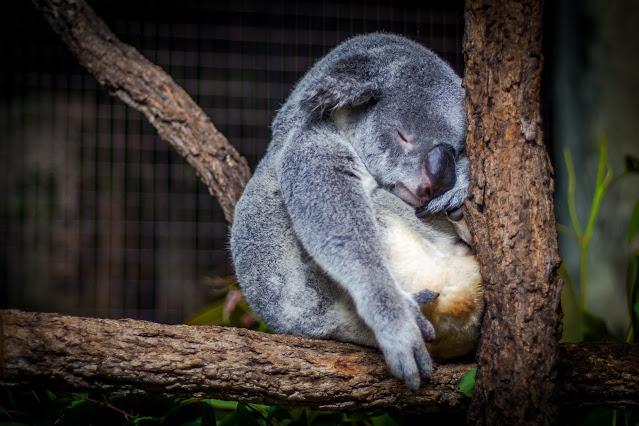 Sleeping koala. Photo by Cris Saur on Unsplash