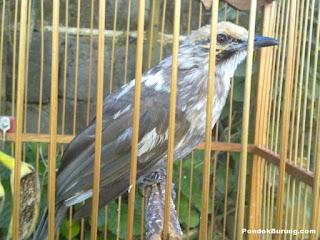 Burung Cucak Rowo - Radang Mata Pada Burung Cucak Rowo dan Cara Pengobatannya - Penangkaran Burung Cucak Rowo