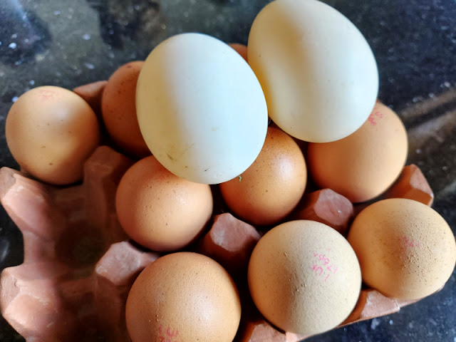 Two white duck eggs balanced on top of a tray of brown hen eggs