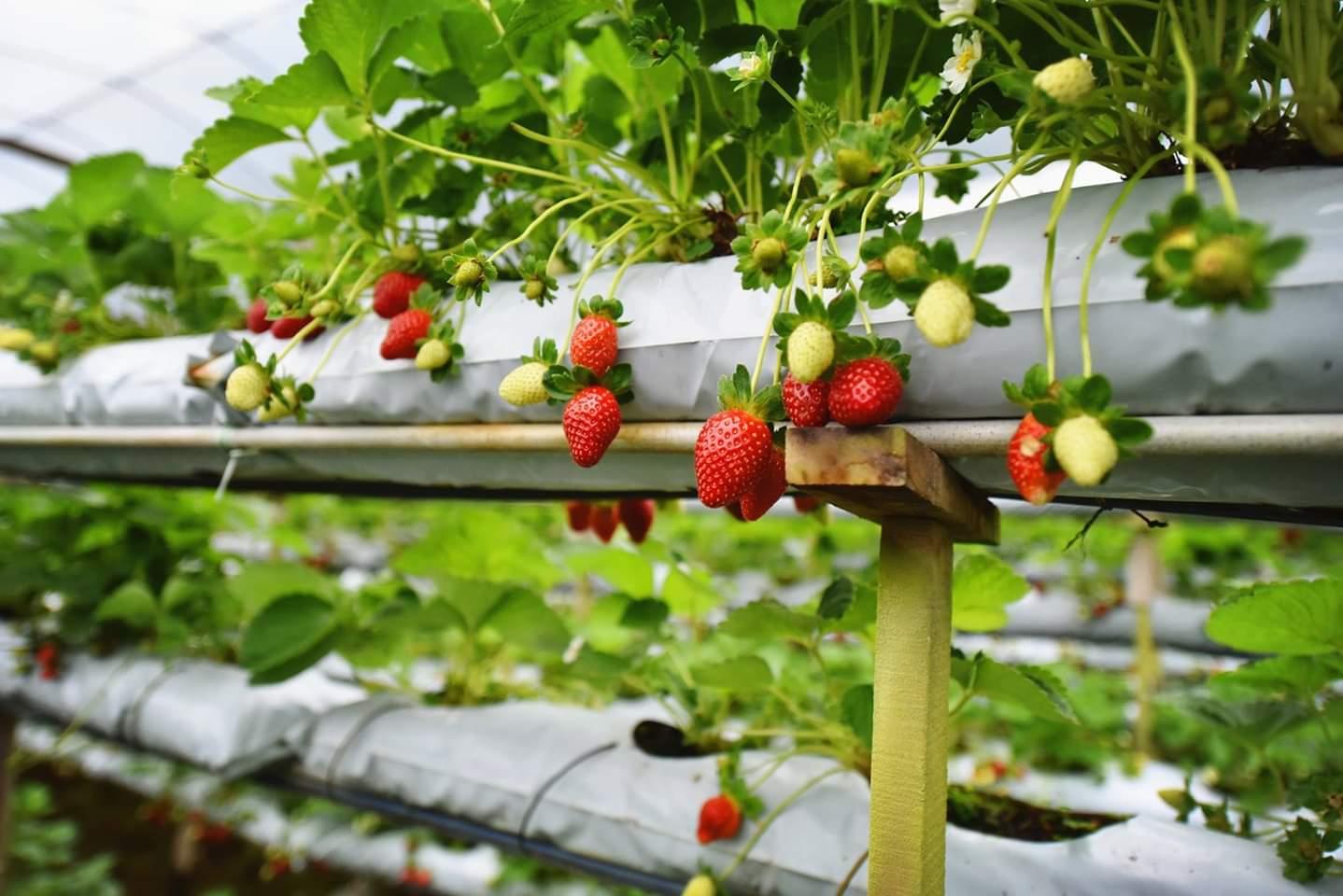 Genting Strawberry Leisure Farm