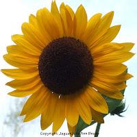 pretty yellow sunflower blossom picture