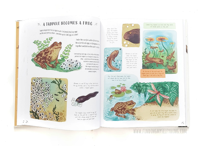 frog life cycle illustration from slow down by Rachel Williams
