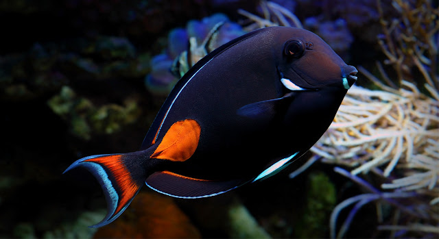 Gambar Ikan Achilles Tang - Budidaya Ikan