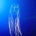 LGU Donsol warns against box jellyfish