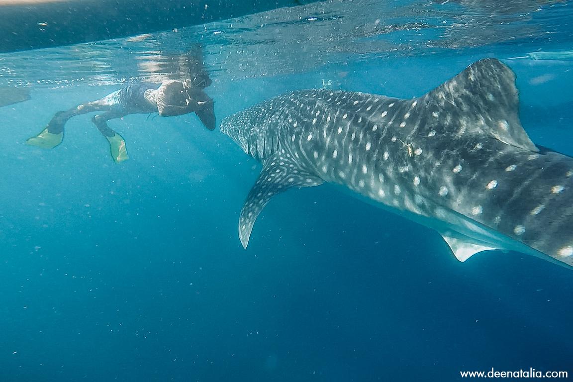 Berenang bersama hiu paus gorontalo