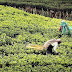 Despite law, Indian tea estates fail: Oxfam study