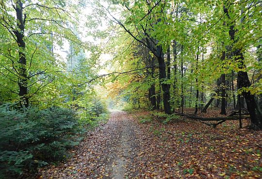 Las między Pustą i Wysoką Horką.