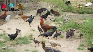 Budidaya ayam kampung Sistem Umbaran