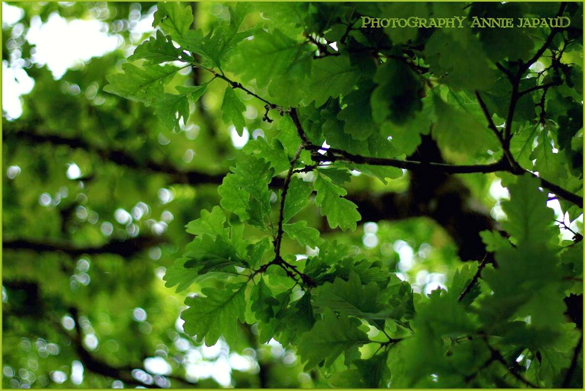 oak trees, green leaves, bokeh, summer light
