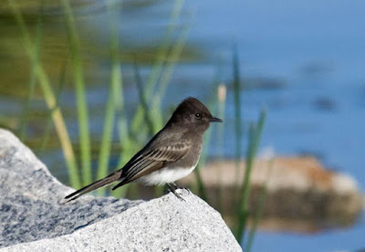Photo of a Black Phoebe at a pond