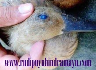 Mata Biru Pada Bebek