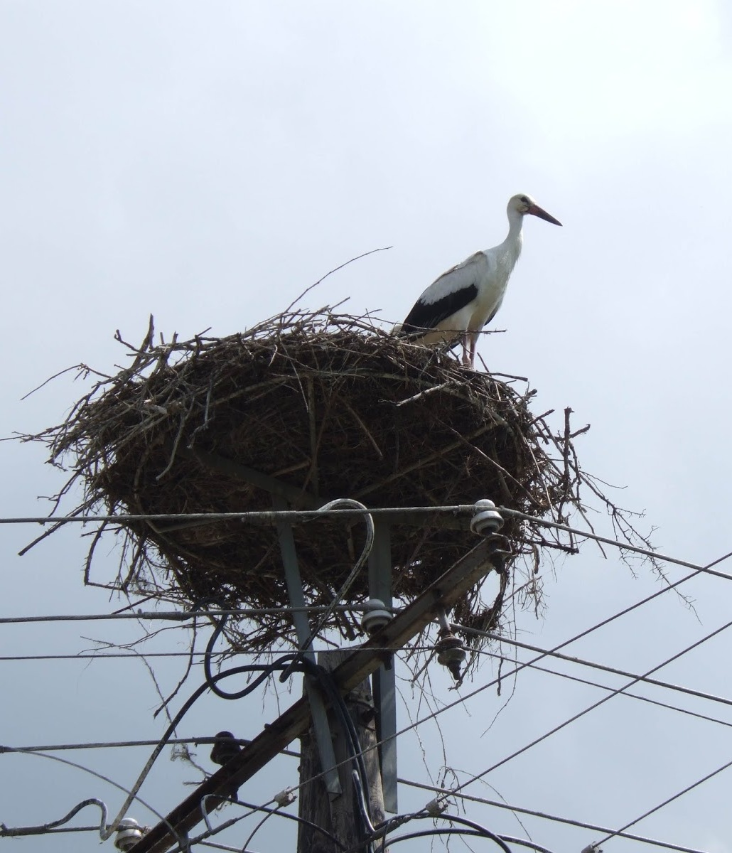 A stork bird with it's nest on electrical wires.