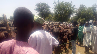 Photos: 3 Boko Haram Cow Sellers & Spy Arrested At Cattle Market In Maiduguri Borno , 193 Cows Seized