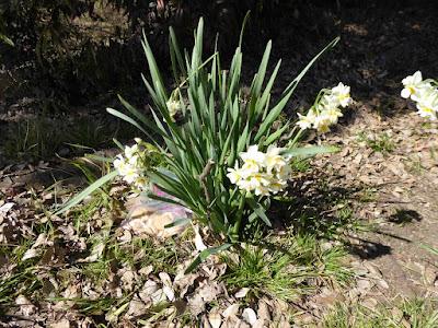 意賀美神社の梅林 八重咲きのスイセン
