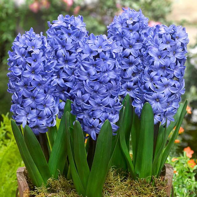 Hyacinth Delft Blue 17-18cm
