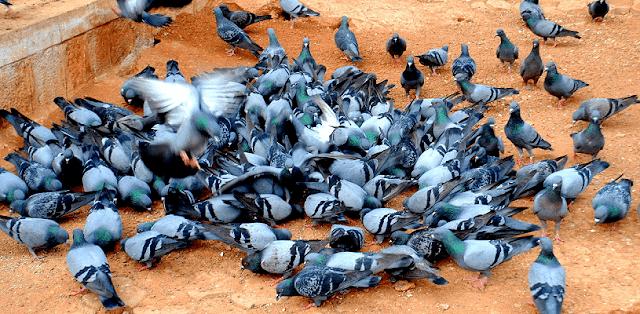 gambar burung dara atau merpati
