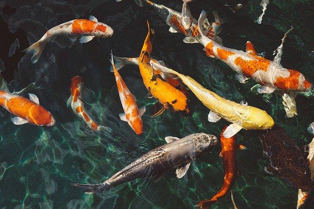 Cara Merawat Kolam Ikan Agar Tidak Berlumut